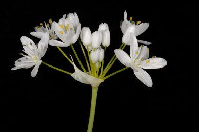 הפרחים לבנים צחורים, הגבעול עגול ולא משולש