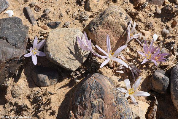 סתוונית הקליפות Colchicum tunicatum Feinbrun