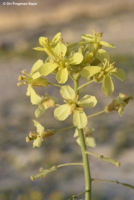 טוריים זיפניים Diplotaxis harra (Forssk.) Boiss.