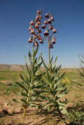 גיאופיט זקוף בעל עלי גבעול רבים ותפרחת עם פרחים נטויים מטה