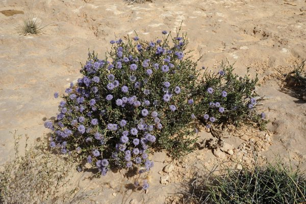 גולנית ערב Globularia arabica Jaub. & Spach