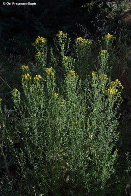 פרע מנוקב Hypericum perforatum L.