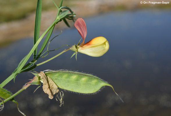 Lathyrus gorgonei Parl.