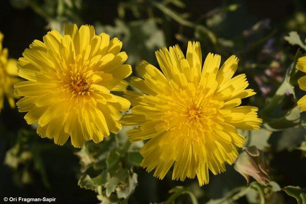 לוניאה צרת-עלים Launaea angustifolia (Desf.) Kuntze