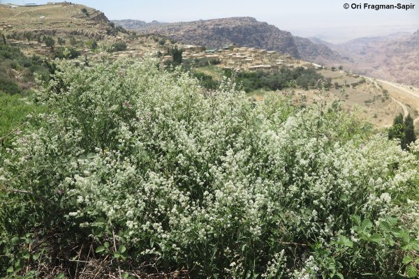 שחליים גבוהים Lepidium latifolium L.