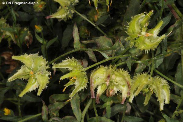 ציפורני-חתול עבות Calendula pachysperma Zohary
