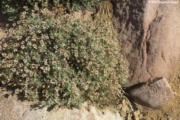 Phagnalon nitidum Fresen.