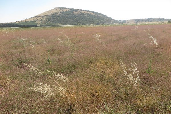 Polygonum arenarium Waldst. & Kit.