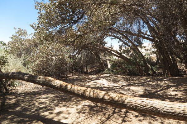 צפצפת הפרת Populus euphratica Oliv.