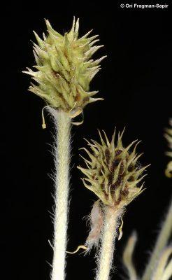 נורית יתדית Ranunculus neocuneatus C.C.Towns.