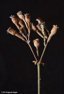 Silene aegyptiaca (L.) L. f.