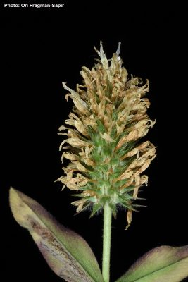 תלתן סלמוני Trifolium salmoneum Mouterde
