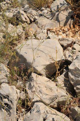 Glochidotheca foeniculacea (Fenzl) Fenzl