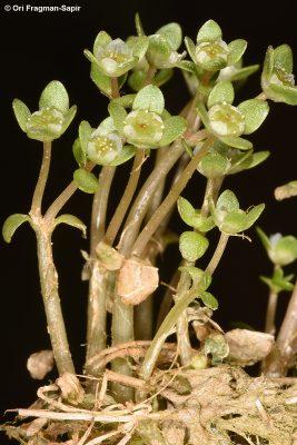 אלטין עקום-זרעים Elatine macropoda Guss.