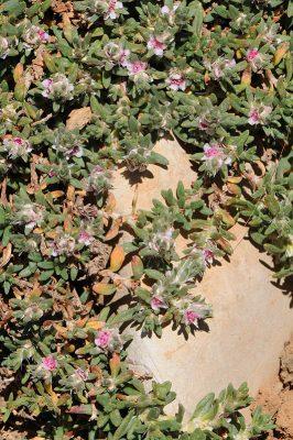 ארכובית לבנונית Polygonum libani Boiss.