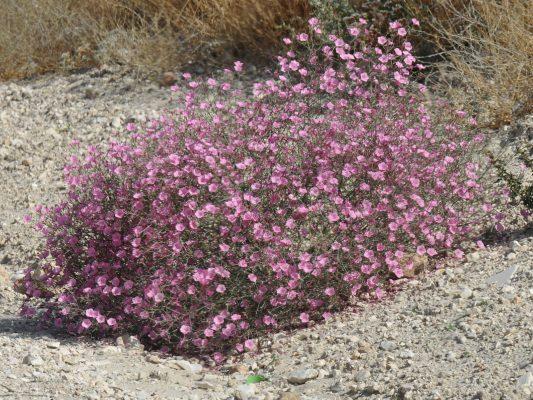 Convolvulus dorycnium L.