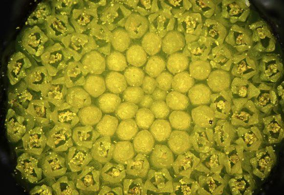 Chlamydophora tridentata (Delile) Less.