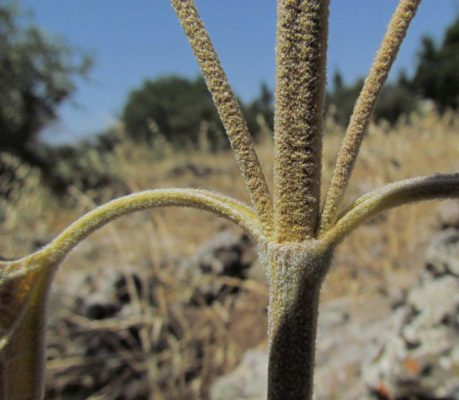 Phlomis syriaca Boiss.