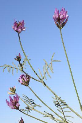 קדד זעיר-פירות Astragalus aduncus Willd.