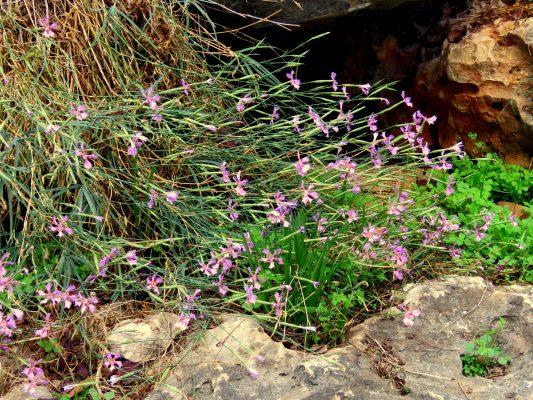 Dianthus pendulus Boiss. & Blanche