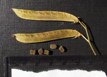 הזרעים קובייתיים, הצלע העליונה של הפרי עולה מעלה בקצה