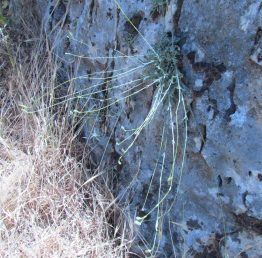 צמח עשבוני רב-שנתי הגדל במצוקים