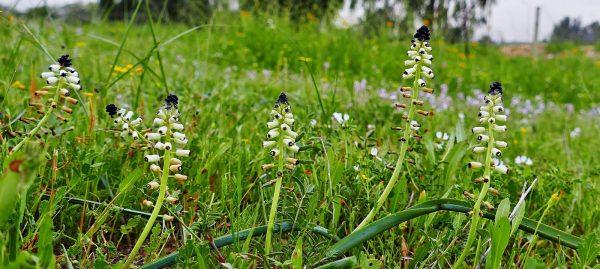מצילות שנהב Leopoldia eburnea Eig & Feinbrun
