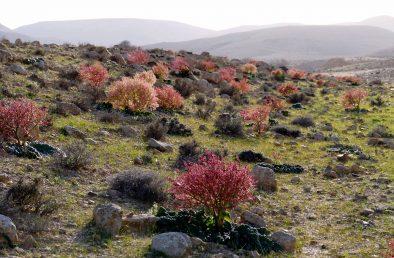 בשנים גשומות רוב הצמחים פורחים וחונטים פרי