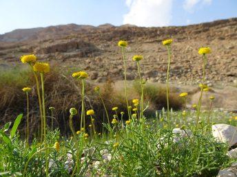 צמח נפוץ במדבר, יוצר לעיתים קרובות מרבדים