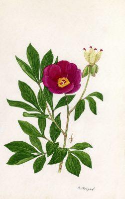 Paeonia mascula (L.) Mill.