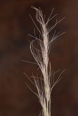 תלת-מלען מצוי Aristida coerulescens Desf.