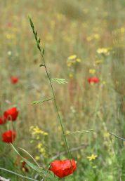 צמח חד-שנתי בעל גבעולים קשיחים ישרים ומסועפים מעט