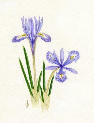 Iris histrio Rchb.f.