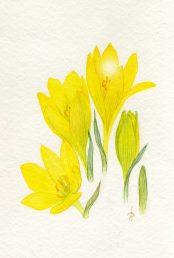 פרחים בשלבי פתיחה שונים. איור - ברכה אביגד ז