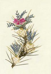 ענף מעוצה נושא עלים מנוצים ופרחים. איור - ברכה אביגד ז