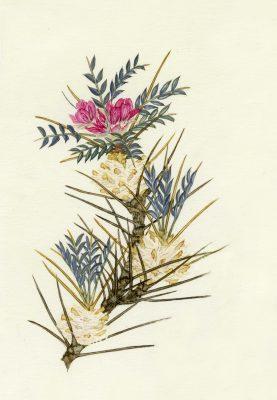 קדד בית-הלחמי Astragalus bethlehemiticus Boiss.