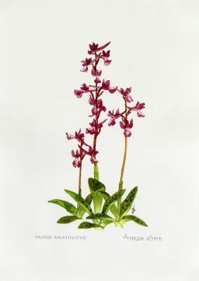 סחלב אנטולי Orchis anatolica Boiss.