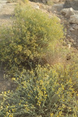 אכילאה ריחנית Achillea fragrantissima (Forssk.) Sch.Bip.