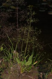 צמח עשבוני רב-שנתי בעל עלים דמויי ביצה, מעוגלים או דמויי לב בבסיסם