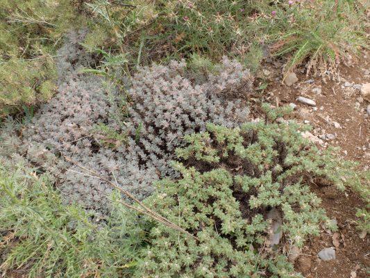 קדד קיפודי Astragalus echinus DC.