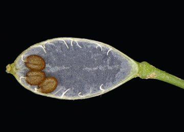 הזרעים ערוכים בשני טורים
