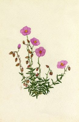 Helianthemum vesicarium Boiss.