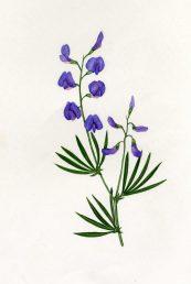 מראה כללי-גבעול נושא עלים ופרחים. איור - ברכה אביגד ז