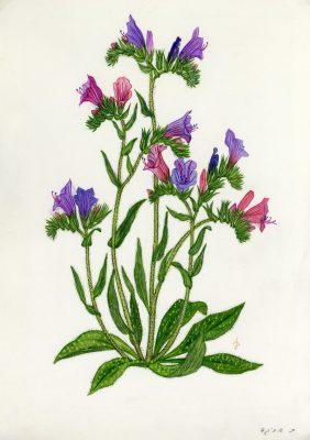 עכנאי יהודה Echium judaeum Lacaita