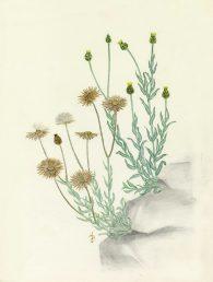 קרקפות בפריחה (מימין) וקרקפות בשלות, חלקן לאחר פיזור זרעים (משמאל). איור - ברכה אביגד ז