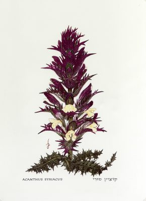 Acanthus syriacus Boiss.