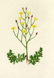 עלים ותפרחת עם פרחים ופירות צעירים. איור - ברכה אביגד ז