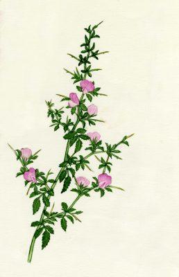שברק קוצני Ononis spinosa L.