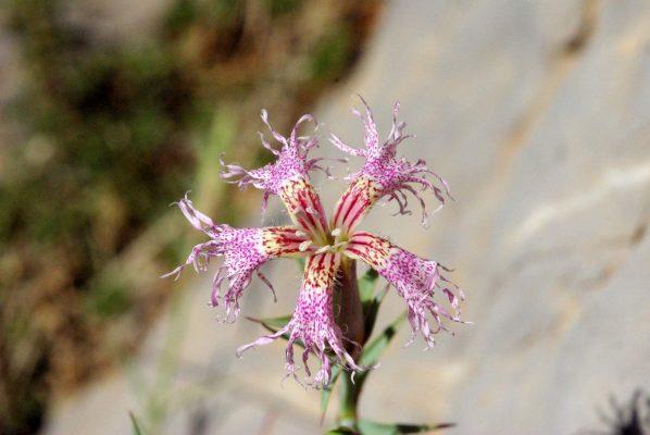 ציפורן הלבנון Dianthus libanotis Labill.