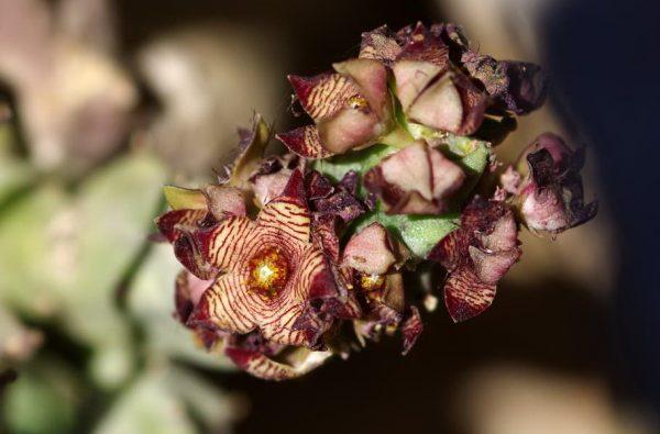 אצבוע אירופי Caralluma europaea (Guss.) N.E.Br.